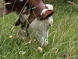 33641_160 - vache prairie - gros plan